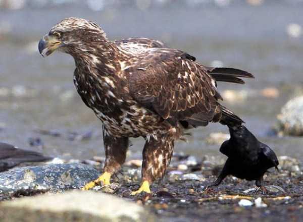 funny-crows-pics (34)