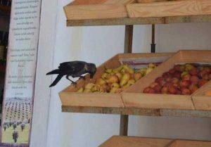 funny-crows-pics (35)