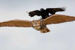 funny-crows-pics (36)