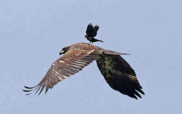 funny-crows-pics (38)