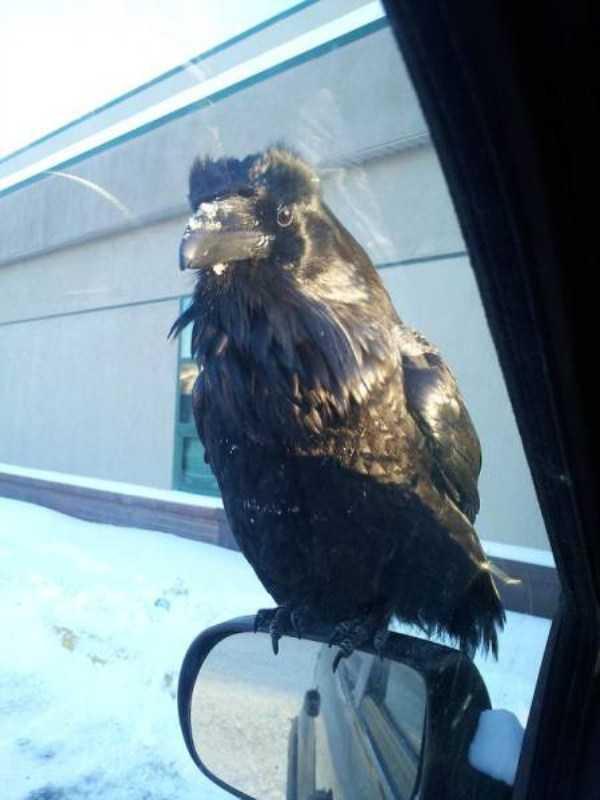 funny-crows-pics (39)