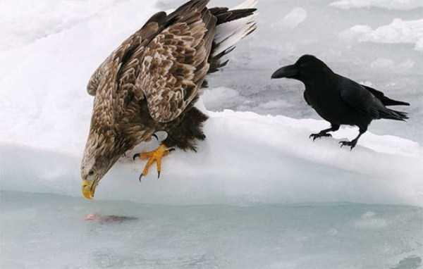 funny-crows-pics (4)