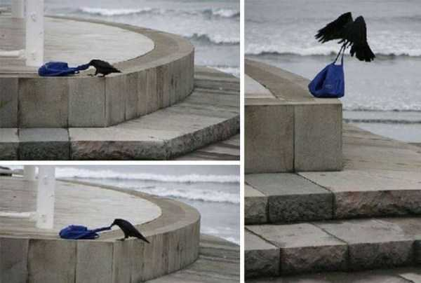 funny-crows-pics (40)