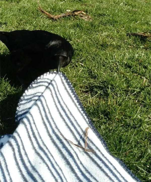 funny-crows-pics (7)