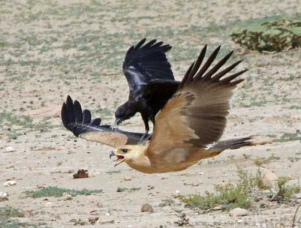 funny-crows-pics (9)