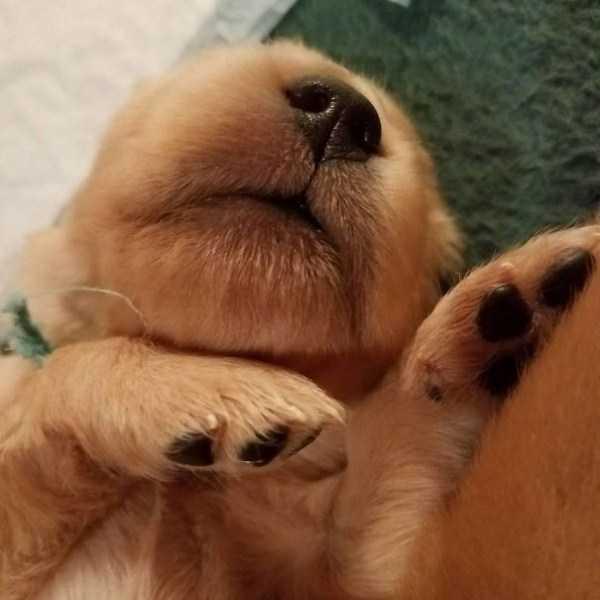 golden-retriever-puppies (10)