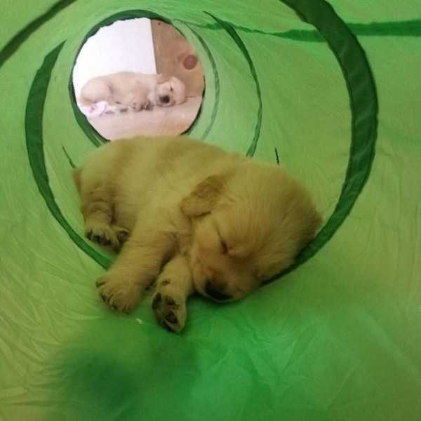 golden-retriever-puppies (16)