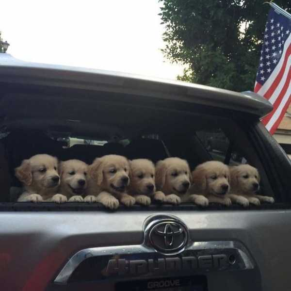 golden-retriever-puppies (20)