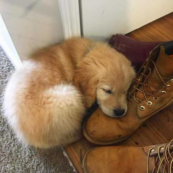 golden-retriever-puppies (29)