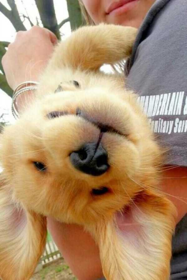 golden-retriever-puppies (6)