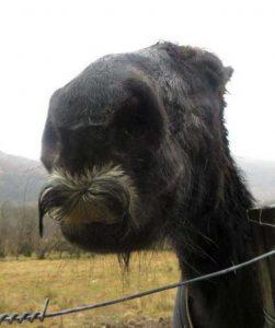 horses-moustaches (12)