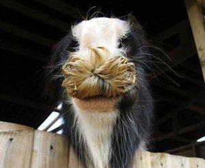 horses-moustaches (21)