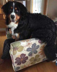really-big-dogs (12)
