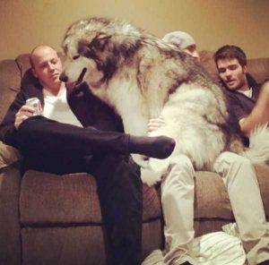 really-big-dogs (15)