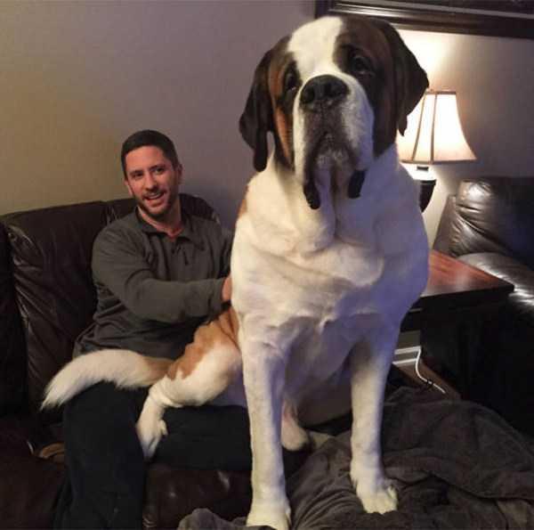 really-big-dogs (19)