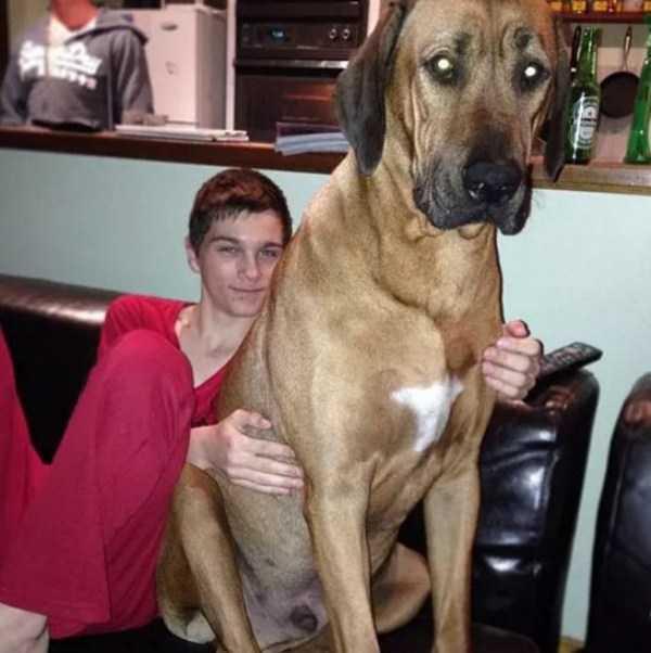 really-big-dogs (2)