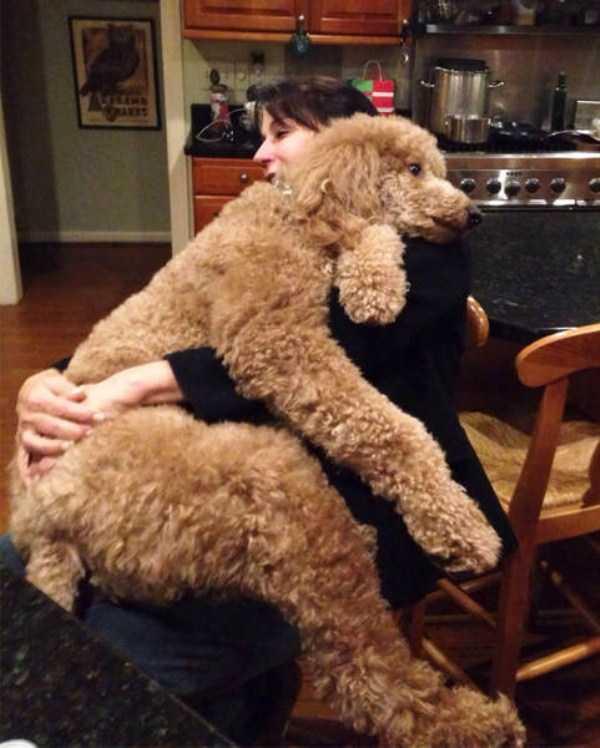 really-big-dogs (22)