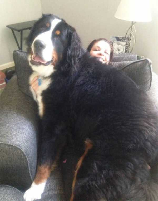 really-big-dogs (24)