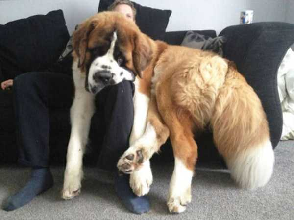 really-big-dogs (28)