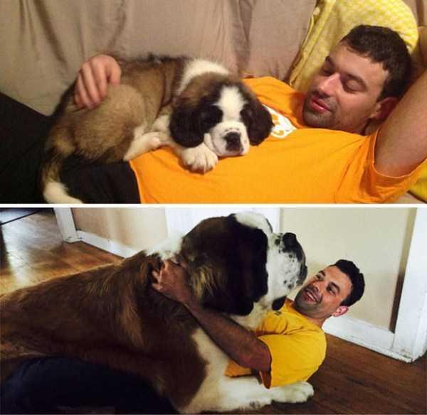 really-big-dogs (31)