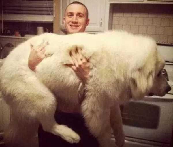 really-big-dogs (4)