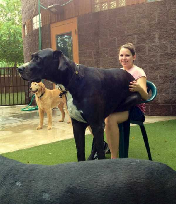 really-big-dogs (48)