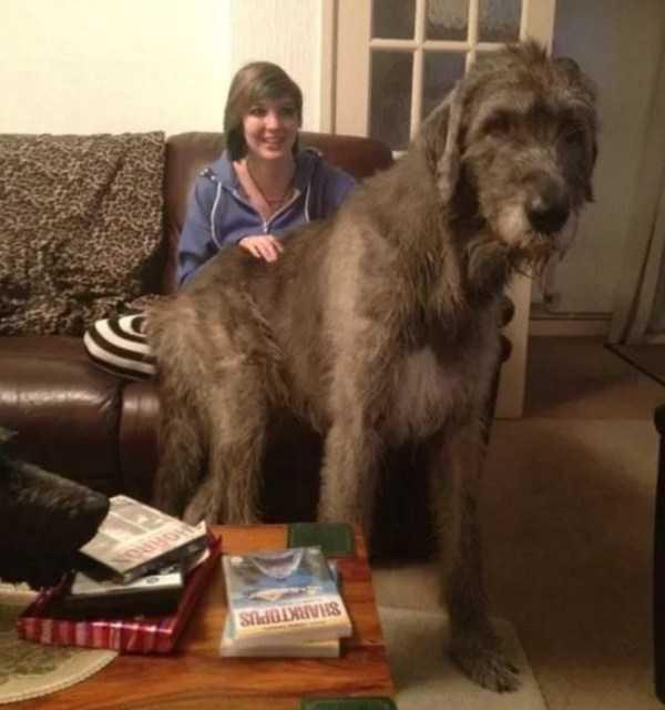 really-big-dogs (6)