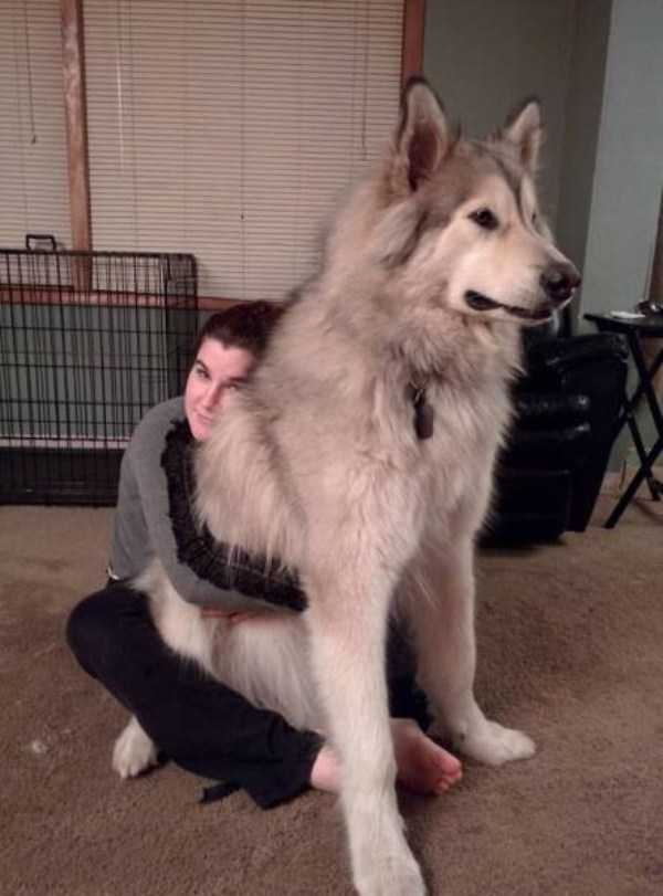 really-big-dogs (9)