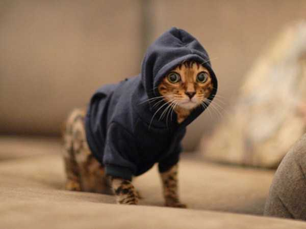 cute-cats-in-hoodies (15)