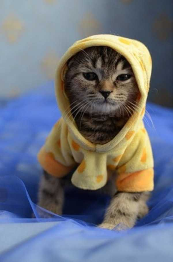 cute-cats-in-hoodies (17)