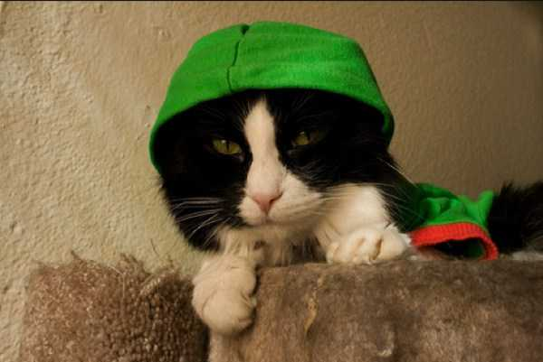 cute-cats-in-hoodies (32)