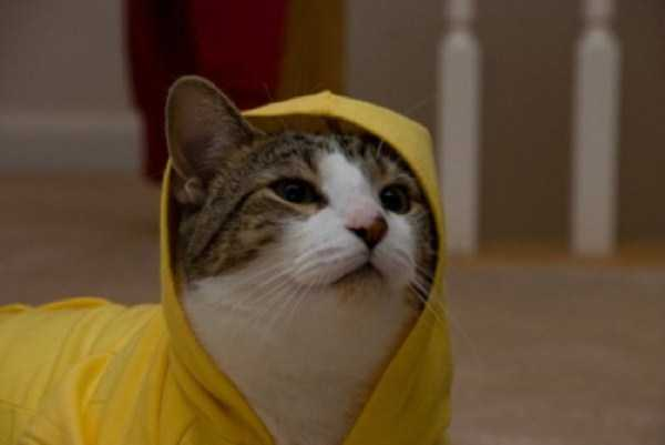 cute-cats-in-hoodies (52)