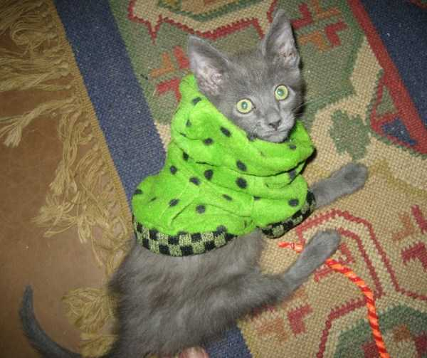 cute-cats-in-hoodies (56)