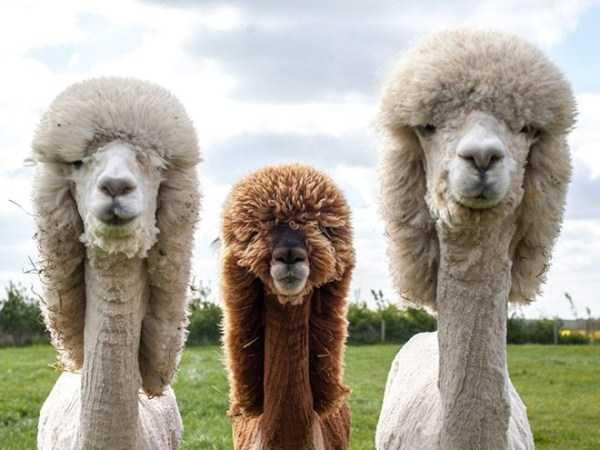 shaved-alpacas (1)
