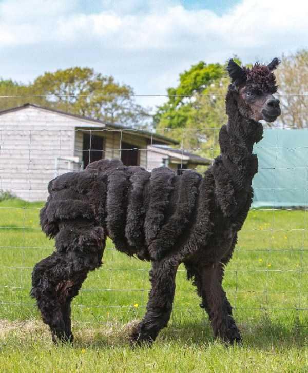 shaved-alpacas (10)