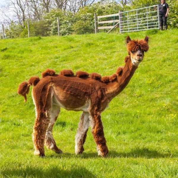 shaved-alpacas (11)