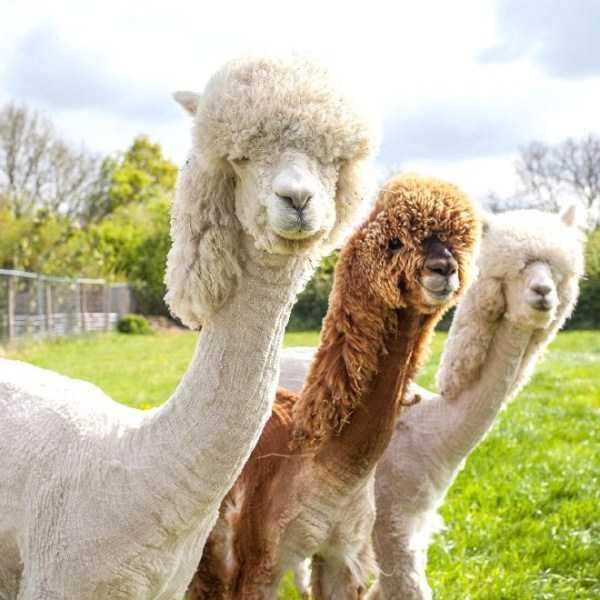 shaved-alpacas (12)