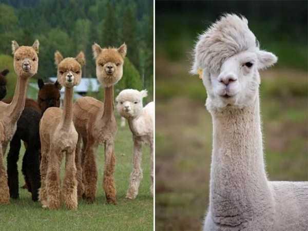 shaved-alpacas (13)
