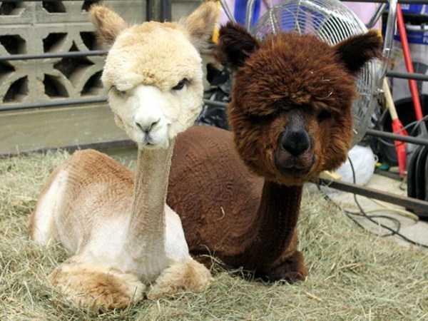 shaved-alpacas (14)