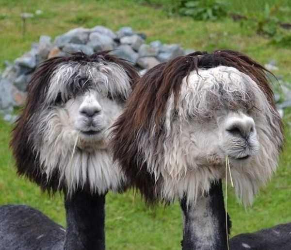 shaved-alpacas (15)