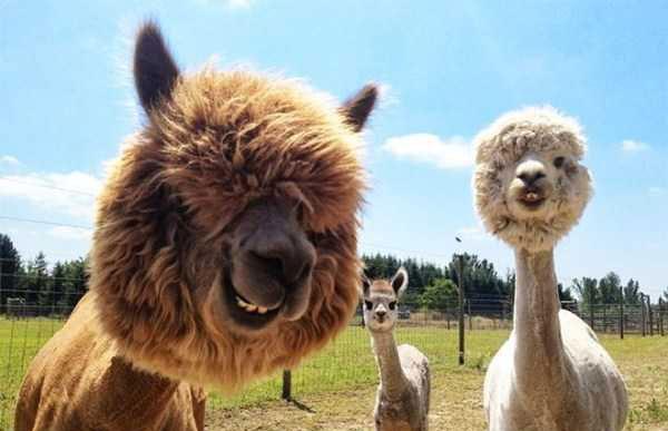 shaved-alpacas-(16)