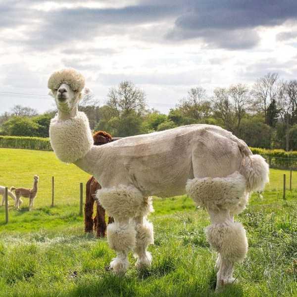 shaved-alpacas (2)