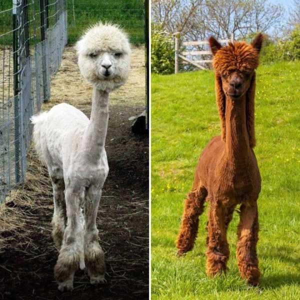shaved-alpacas (3)