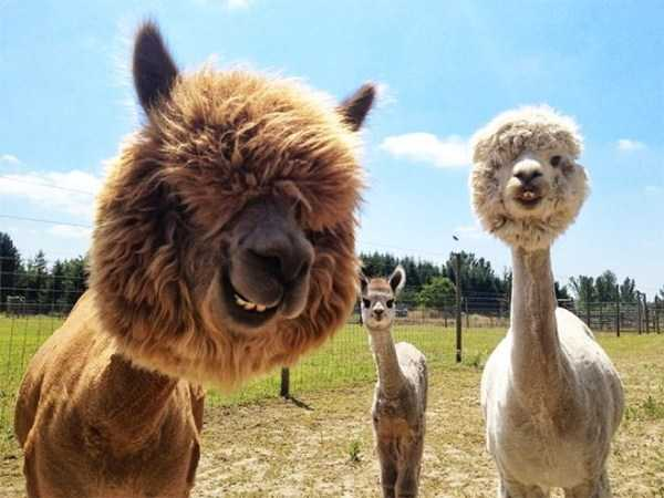shaved-alpacas (4)