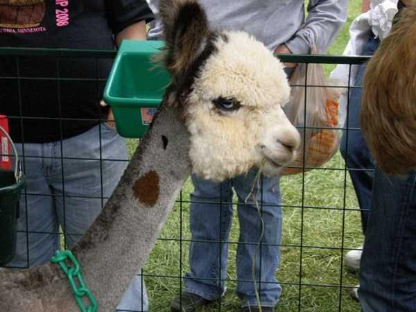 shaved-alpacas (5)