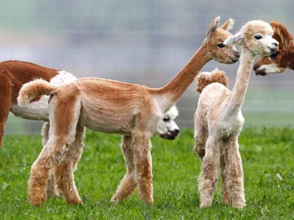 shaved-alpacas (6)