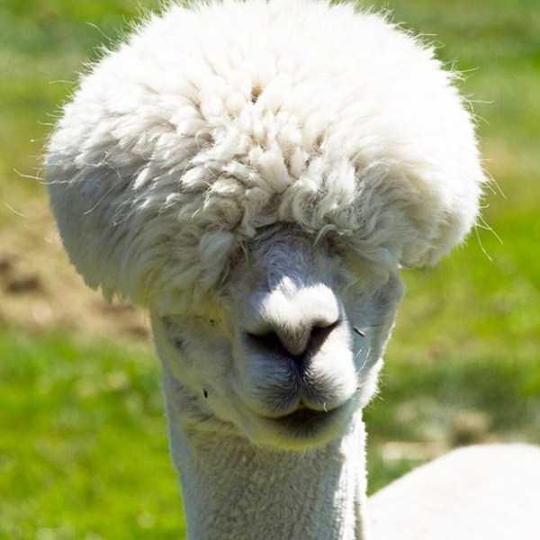 shaved-alpacas (7)