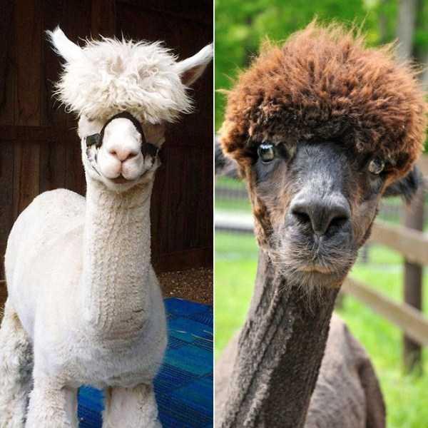 shaved-alpacas (8)