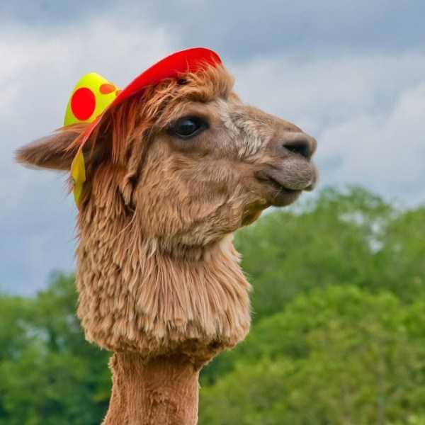 shaved-alpacas (9)
