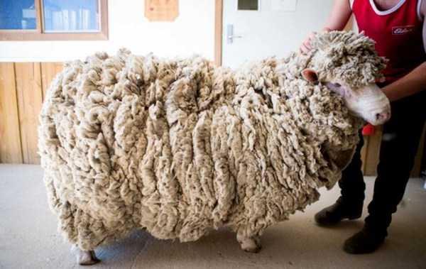 unshaven-sheep (2)